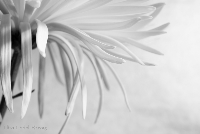 chrysanthemum in B+W