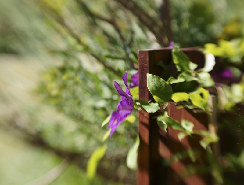 clematis fence shot