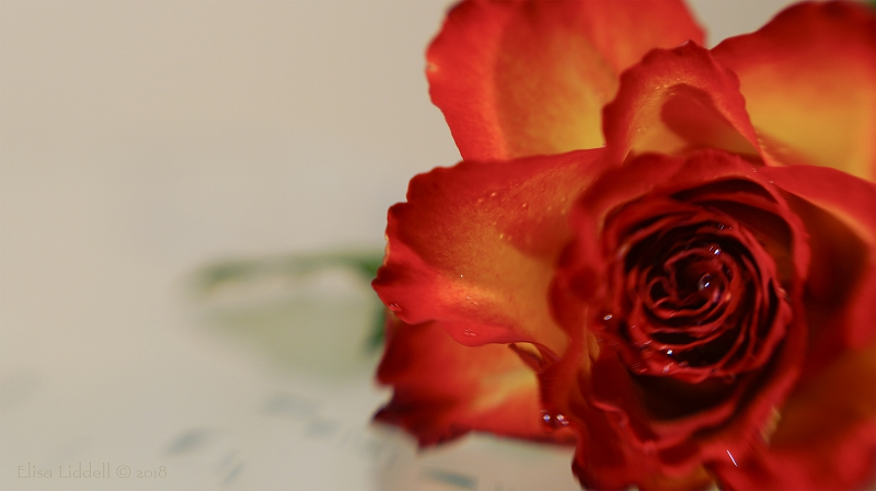 A red and yellow rose