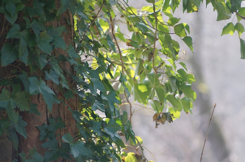 Ivy leaves in the sunshine