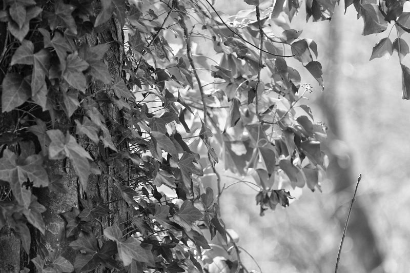 Ivy leaves in B+W with NIK