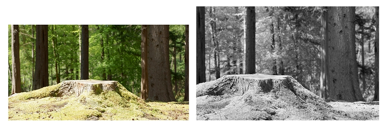 Colour and B+W versions of a tree trunk