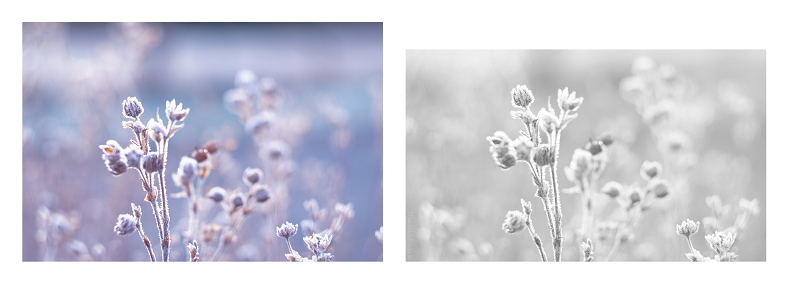 Colour and B+W versions of frosted seed heads