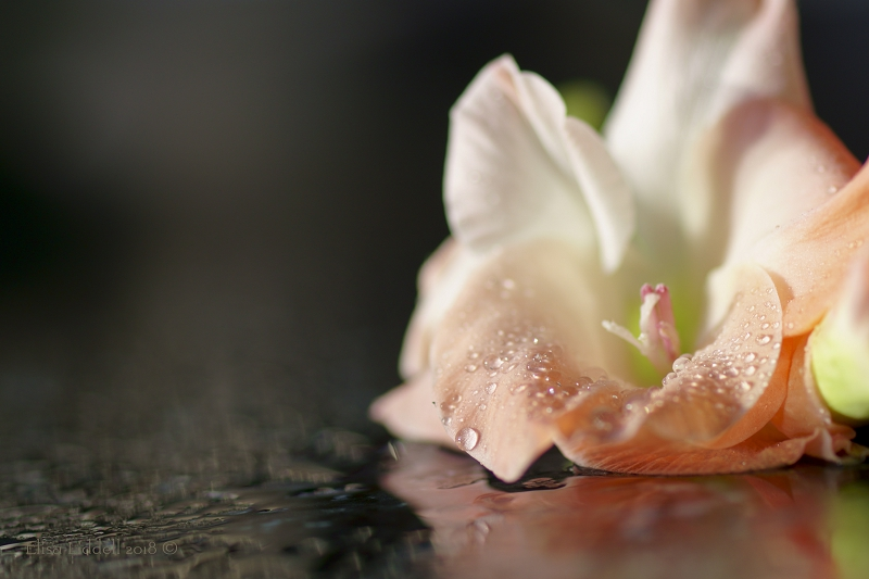 Gladiolus flower resting on the formica worktop