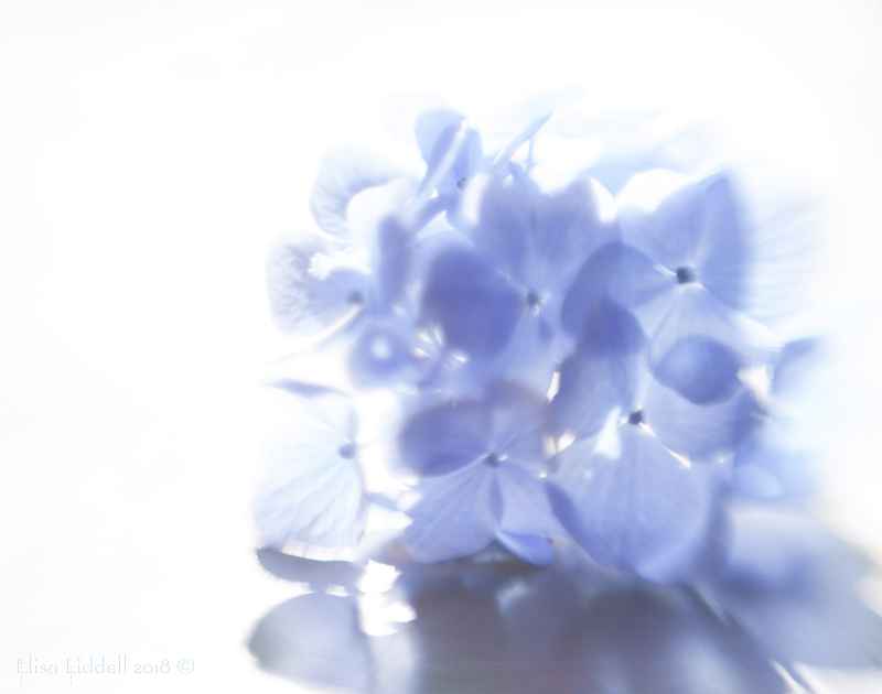 Blue hydrangea flowers in bright sunlight