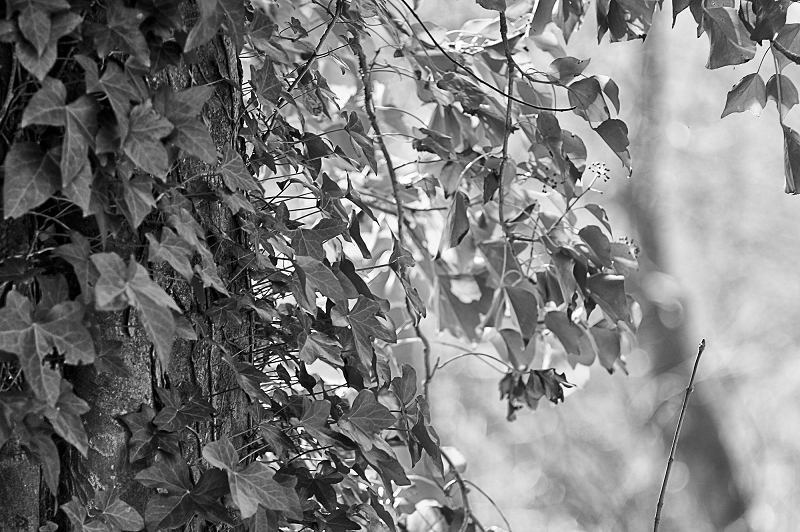 Ivy leaves in B+W with High Pass