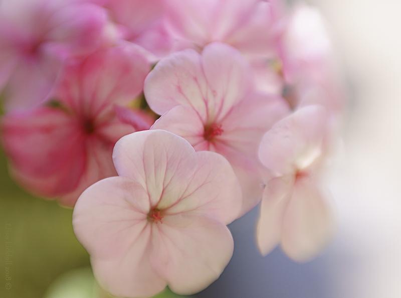 Pink geranium flowers.