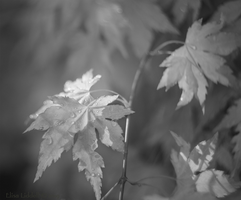 Raindrops on miniature acer in B+W.