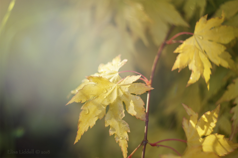Raindrops on miniature acer in colour.
