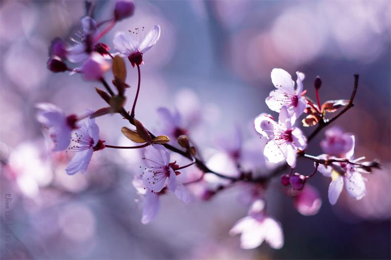 plum blossom with bokeh