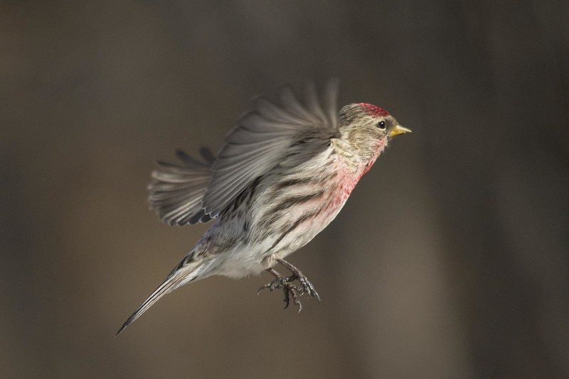 Male Common Redpoll (Acanthis flammea)