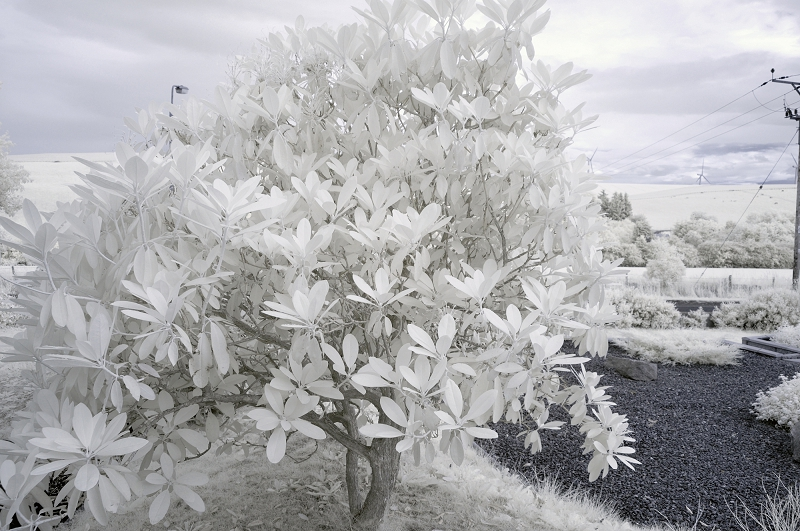 Rhododendron. First steps in Infrared photography