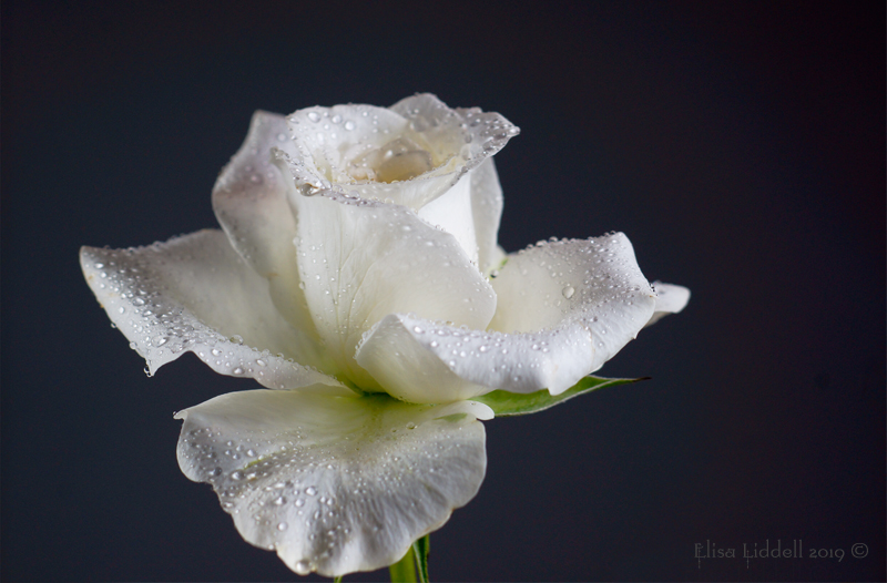 A white rose with raindrops.