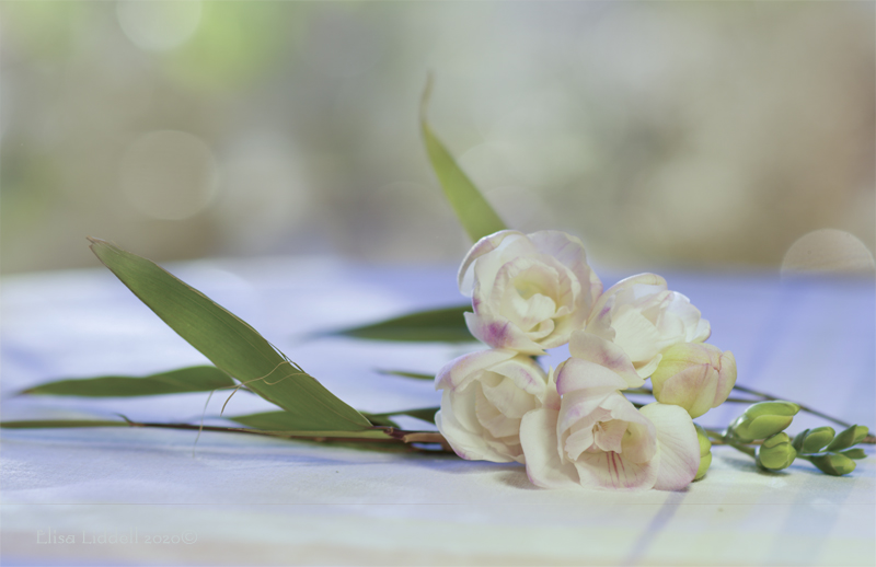 freesias with bokeh