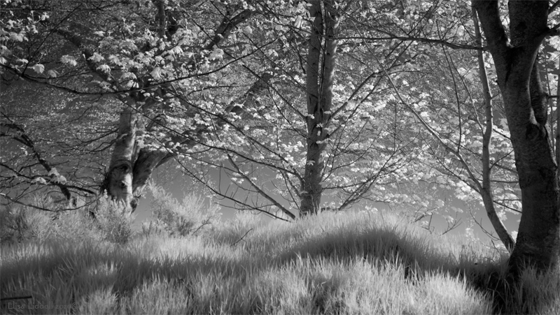 Sunshine through the trees in infrared