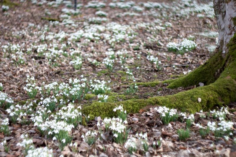 snowdrops at Fyvie Castle