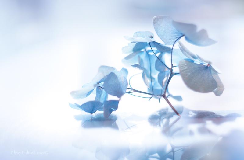 dried blue hydrangea flowers