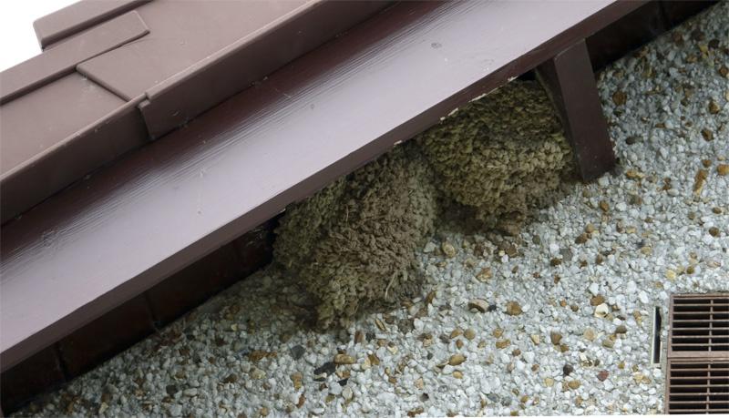 Barn swallow nests